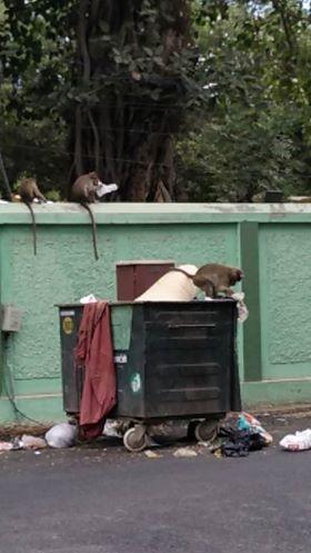 Earlier Monkeys in Bharathi Park
